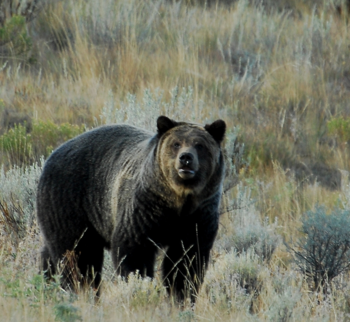 Yellowstone Grizzlies Delisted