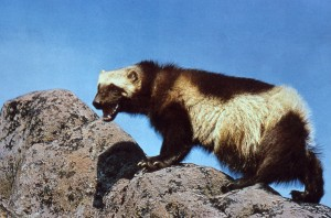Elusive and always on the go, the wolverine lives a secretive life of adventure and survival.